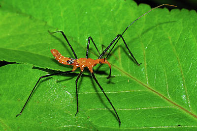 Photograph - Assassin Bug Nymph With Prey by Larah McElroy