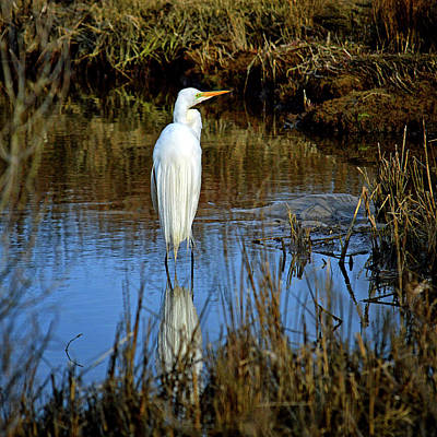 Photograph - Assateague Island Great Egret Ardea Alba by Bill Swartwout