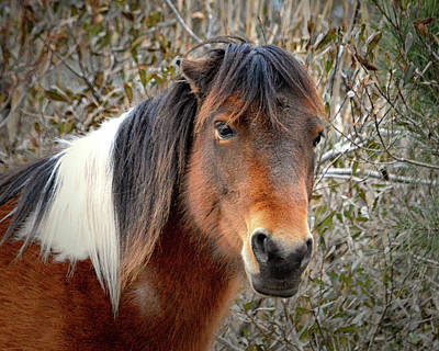 Photograph - Assateague Island Pony Patricia Irene by Bill Swartwout