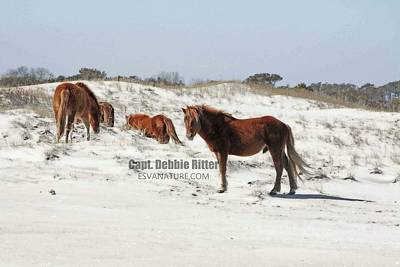 Photograph - Assateague Ponies B by Captain Debbie Ritter