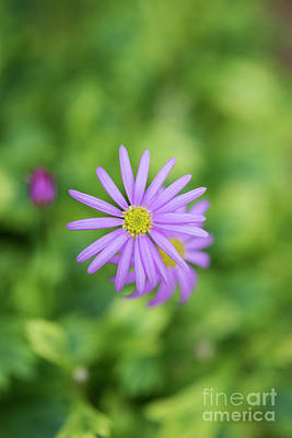 Photograph - Pilliga Daisy by Tim Gainey