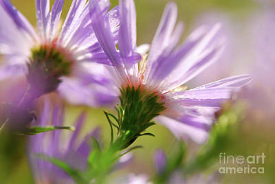 Photograph - Aster Backs  by Lois Bryan