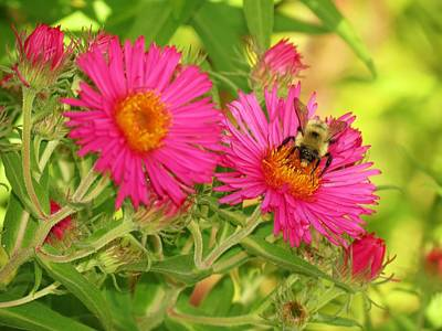 Photograph - Aster Bee by MTBobbins Photography