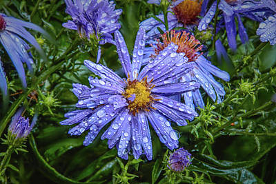 Photograph - Aster Blue #g7 by Leif Sohlman