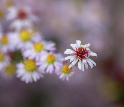 Photograph - Aster  by Diane Fifield