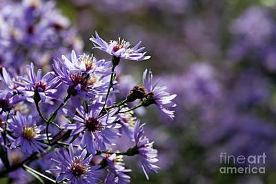 Photograph - Asters In Sunlight by Liz Alderdice