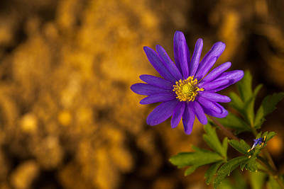 Purple Passion Photograph - Aster  by Karol Livote