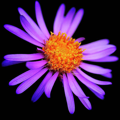 Photograph - Aster by Roberto Pagani