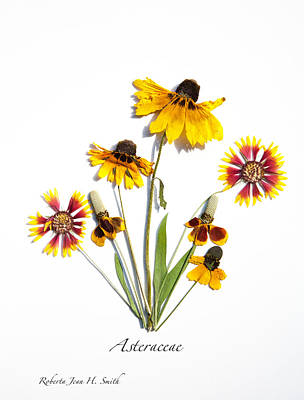 Photograph - Asteraceae by Roberta Jean Smith