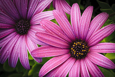 Photograph - Asters by Alex Saunders