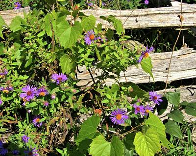 Photograph - Asters And A Rail Fence by Valerie Kirkwood