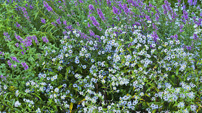 Photograph - Asters And Purple Loosestrife by Alan L Graham