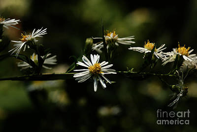 Photograph - Aster's Branch by Linda Shafer