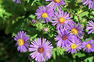 Photograph - Asters Galore by Valerie Kirkwood