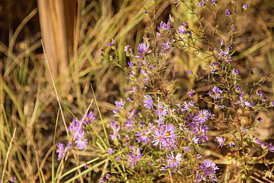 Photograph - Asters In Autumn by Kunal Mehra