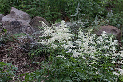Photograph - Astilbe - Feathery Beauty II by Suzanne Gaff