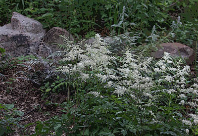 Photograph - Astilbe - Feathery Beauty by Suzanne Gaff