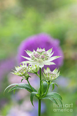 Photograph - Astrantia Buckland  by Tim Gainey