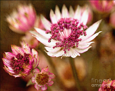 Photograph - Astrantia Major by Liz Alderdice