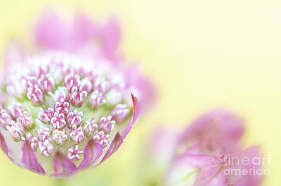 Astrantia Photograph - Astrantia by Martin Williams