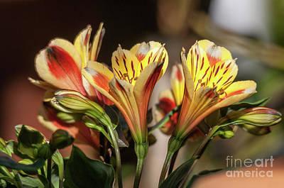 Photograph - Astromelia Flowers by Leonardo Fanini