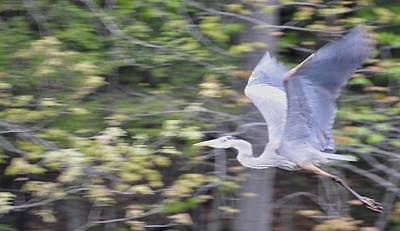 Blue Herron Photograph - At Flight by John Taylor