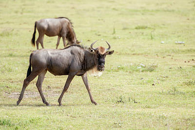 Photograph - At Large And Posing Blue Wildebeest In Tanzania by Marek Poplawski
