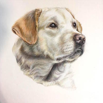 Chocolate Lab Drawing - At Peace by Danielle Rosalie Pellicci