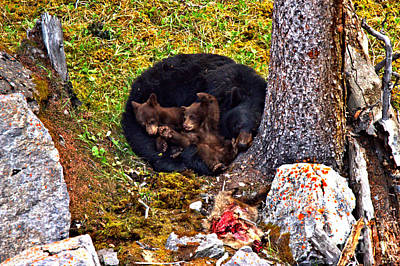 Photograph - At Rest After A Jasper Feast by Adam Jewell