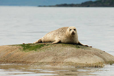 Seal Photograph - At Rest by Nichola Denny