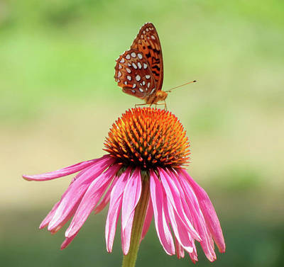 Photograph - At The Top - Fritillary Butterfly by MTBobbins Photography