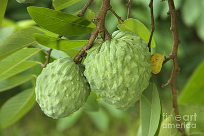 Annona Photograph - Atemoya Fruit by Inga Spence