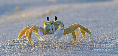 Photograph - Atlantic Ghost Crab 1429 by Jack Schultz