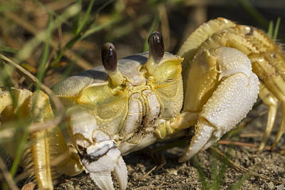 Photograph - Atlantic Ghost Crab Close-up by Liza Eckardt
