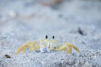 Photograph - Atlantic Ghost Crab by David Watkins