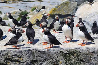 Machias Seal Island Photograph - Atlantic Puffin Colony by John Burk