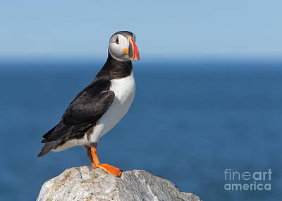 Photograph - Atlantic Puffin by Joshua Clark