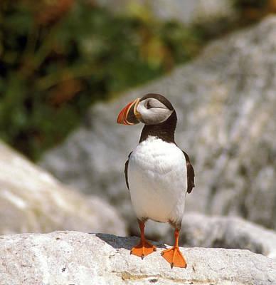 Machias Seal Island Photograph - Atlantic Puffin Profile by John Burk