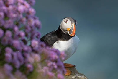 Photograph - Atlantic Puffin - Scottish Highlands by Karen Van Der Zijden