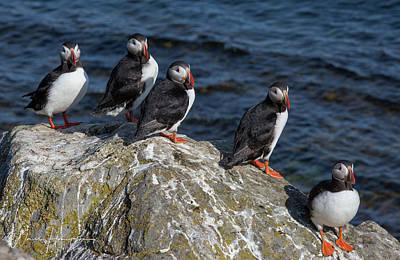 Photograph - Atlantic Puffins - 0528,s by Wally Hampton