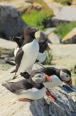 Photograph - Atlantic Puffins And Razorbill by John Burk
