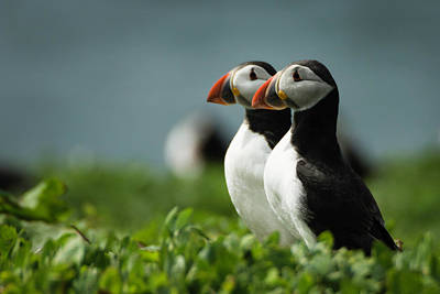 Photograph - Atlantic Puffins by Andy Beattie Photography