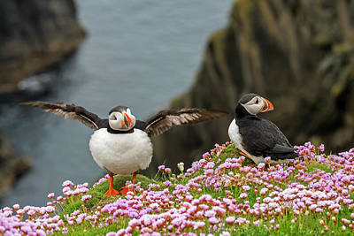 Photograph - Atlantic Puffins In Shetland by Arterra Picture Library