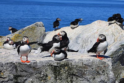 Machias Seal Island Photograph - Atlantic Puffins Machias Seal Island by John Burk