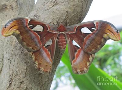 Photograph - Atlas Butterfly by Jeepee Aero