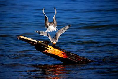 Photograph - Atop A Tern by Amanda Struz