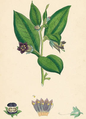 Herbaceous Painting - Atropa Belladonna Deadly Nightshade by Unknown