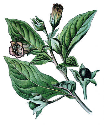 Comedian Drawings - Atropa belladonna or Atropa bella-donna, commonly known as bella by Bildagentur-online