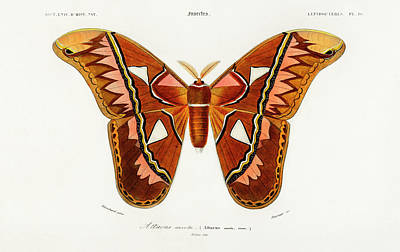 The Beatles - Attacus Atlas Moth, Attacus Aurora by Charles Dessalines D