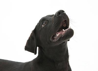 Attentive Black Lab Pup Art Print by Mark Taylor